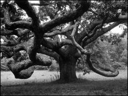 Eisenstaedt Oak