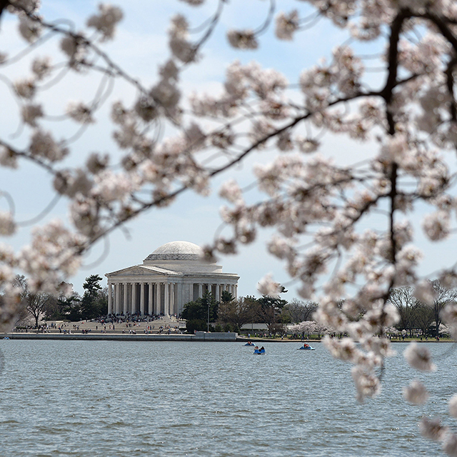 The Jefferson Memorial is seen across the Tidal Basin as Washington's famous cherry blossom trees reached peak bloom Friday just in time to provide a colorful finale to the city's spring festival, April 11, 2014 in Washington, DC. (Olivier Douliery/Abaca Press/MCT)