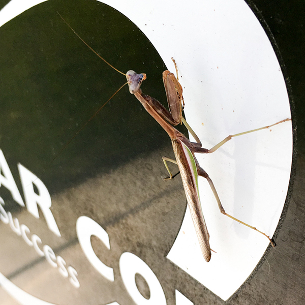 A praying mantis enjoys the sunlight on the side of a Palomar trash can on the afternoon of Oct. 3, 2017. Alissa Papach / The Telescope